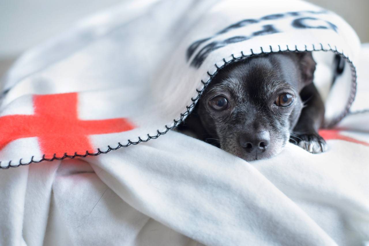 Dog wrapped in Red Cross blanket